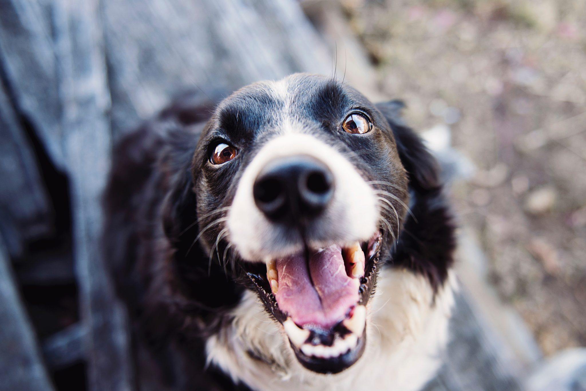 Blue Collar Pet Transport Dog Puppy