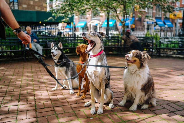 Four dogs on a walk in the park.