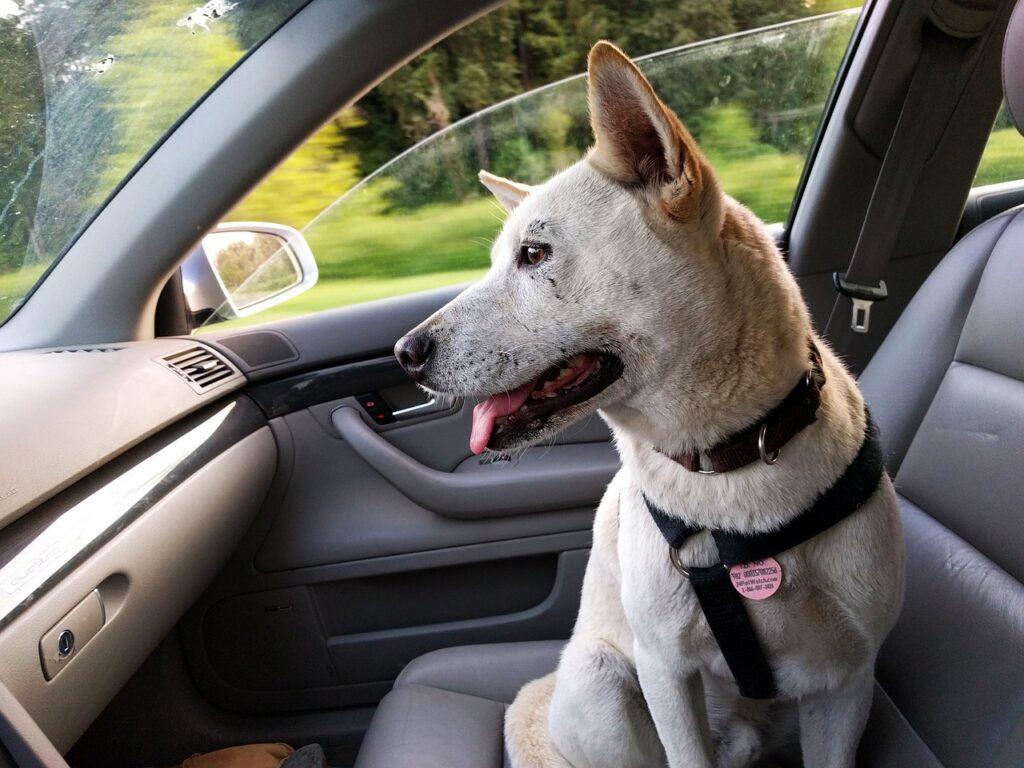 dog, car, ride