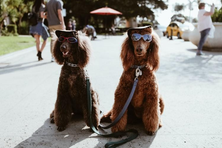 Two dogs wearing sunglasses at a park.