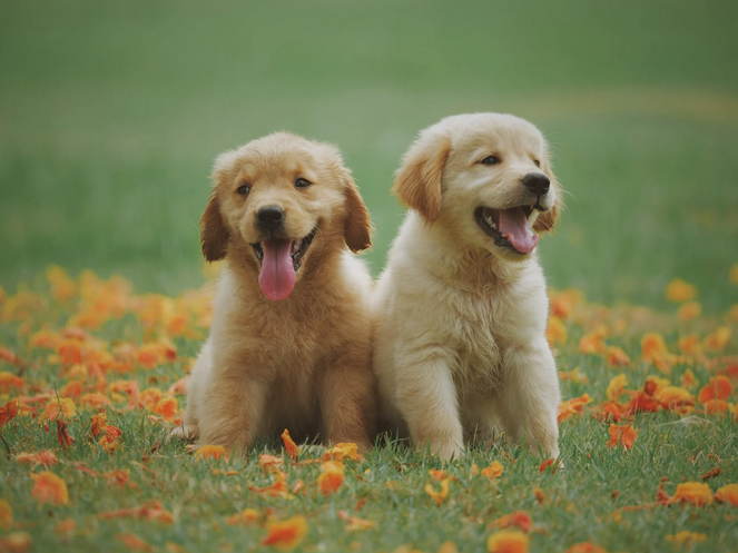 Two puppies smiling in a yard.