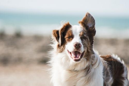 Dog smiling with wind blowing.