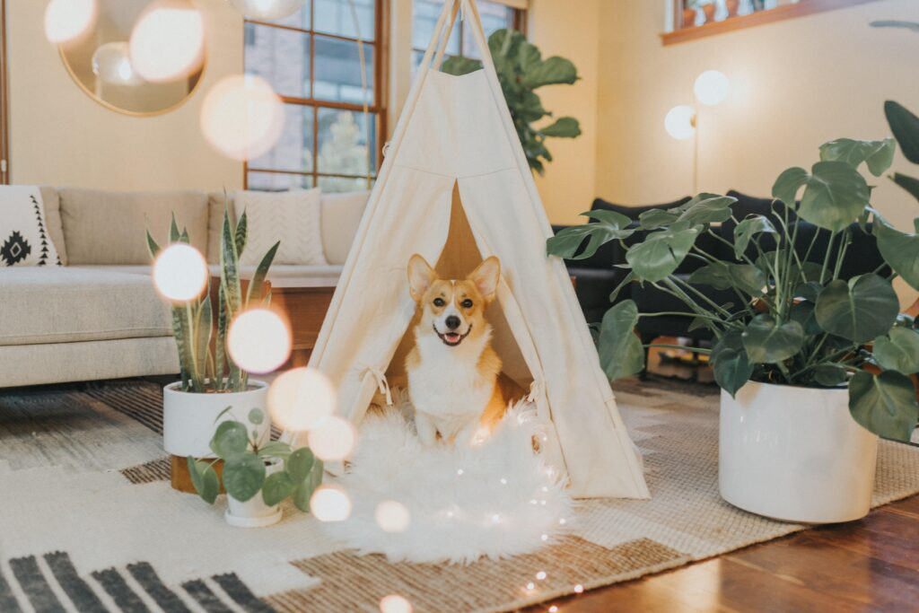 Corgi in a tent.