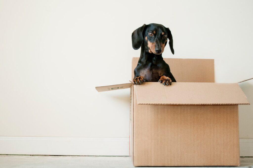 Weiner dog in a shipping box.