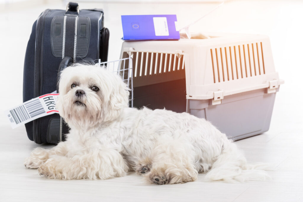 Little dog laying down in front of luggage.
